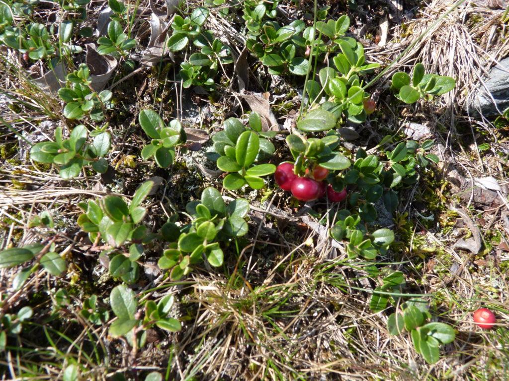 ягоды у подножия горы Иремель