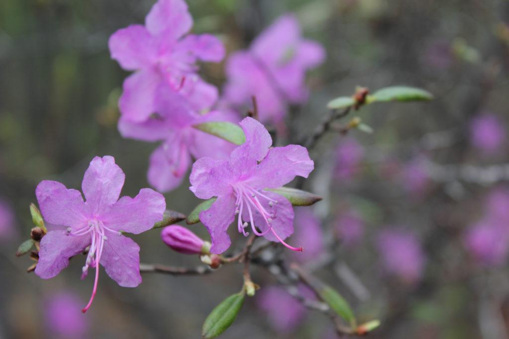 Цветы Рододендрона на острове Ольхон. Байкал